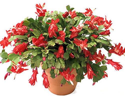 Potting Soil For Christmas Cactus.Christmas Cactus Care