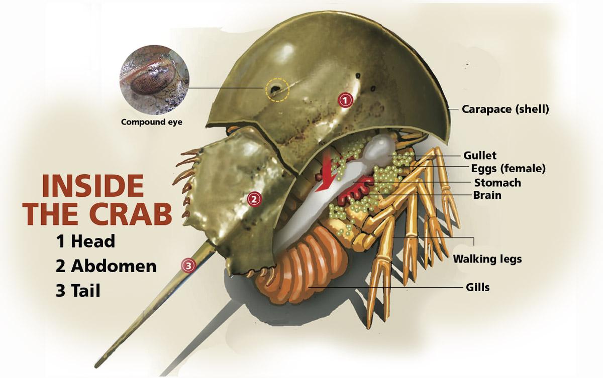 Horseshoe crab anatomy